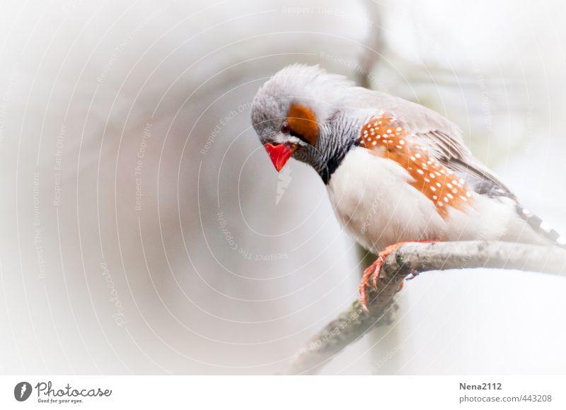 Zebrafink weiß rot Tier Luft Nebel sitzen Flügel Ast Schnabel Punktmuster