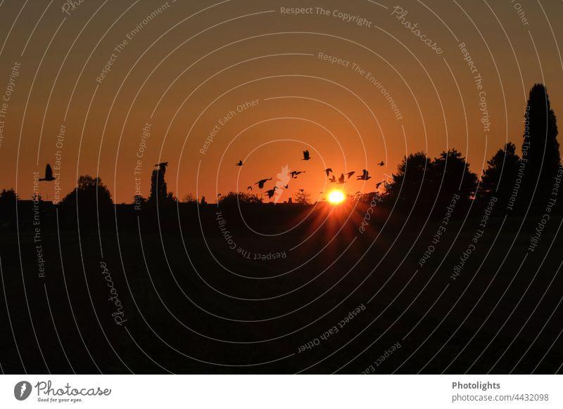 Vogelschwarm bei Sonnenaufgang Morgen Vögel fliegen Schwarm Himmel Natur Tier Wildtier Tiergruppe Außenaufnahme Freiheit Umwelt Vogelflug Menschenleer Bewegung