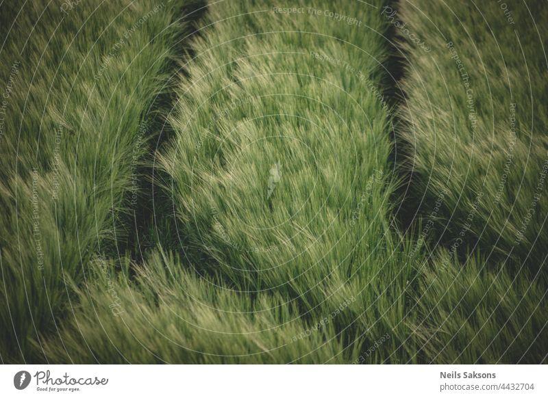 Junge grüne Weizensetzlinge, die in der Erde auf einem Feld wachsen. Nahaufnahme von sprießendem Roggen auf einem Feld. Sprossen von Roggen. Sprossen von junger Gerste oder Weizen, die im Boden gekeimt sind. Abdrücke von Traktorreifen