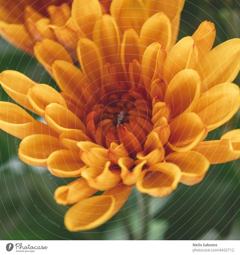 tolle Makroaufnahme einer schönen orangefarbenen Chrysantheme auf einem unscharfen Hintergrund in Nahaufnahme. Detaillierte gelbe Blütenblätter in natürlichem Licht aus dem Fenster