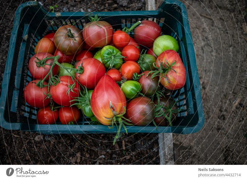 frische reife und unreife grüne und rote große und Kirschtomaten aus eigenem Gewächshaus. Die Ernte wird geerntet und in Plastikkisten gesammelt. Gesundes Gemüse ohne chemische Zusätze. Bio-Lebensmittel