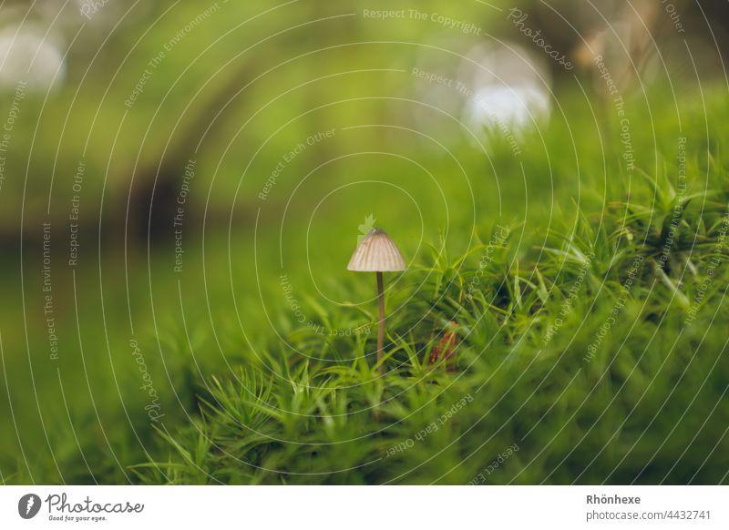 Mini Pilz in grünen Moos Natur Farbfoto Menschenleer Außenaufnahme Pflanze Moosteppich Waldboden Nahaufnahme Tag Makroaufnahme Schwache Tiefenschärfe Wachstum