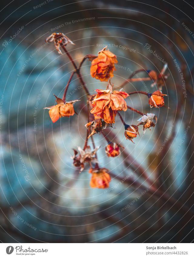 Im Tode noch so schön Rosen verwelkt Winter Strauch Farben Friedhof Stille Menschenleer Traurigkeit Farbfoto Natur Tag Vergänglichkeit Gedeckte Farben dunkel