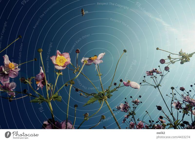 Looping Herbstanemone Blütenblätter Blütenstempel Stengel mehrfarbig leuchten Licht harmonisch zart Gegenlicht strahlend Lichterscheinung Wildpflanze elegant