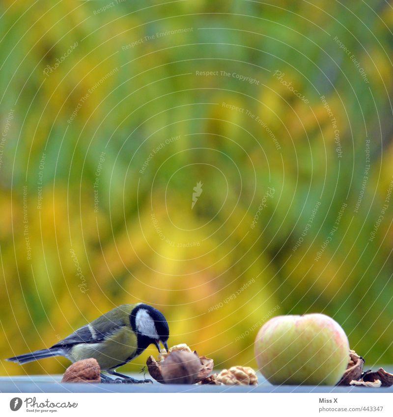 Meise Frucht Apfel Essen Garten Wildtier Vogel 1 Tier Fressen lecker Appetit & Hunger Vogelfutter Nuss Walnuss entwenden Meisen Kohlmeise Futterplatz