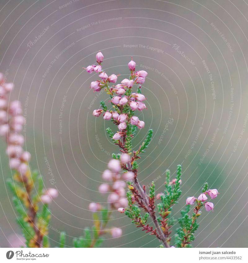 schöne rosa Blume Pflanze in der Natur in sprigtime Blütenblätter Garten geblümt Flora natürlich dekorativ Dekoration & Verzierung romantisch Schönheit