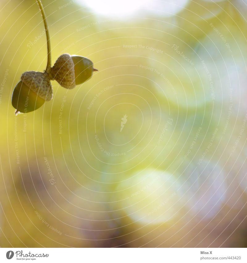 Eicheln Herbst Pflanze Baum Park Wald grün herbstlich Herbstbeginn Herbstfärbung Eichenwald Samen Frucht 2 Farbfoto Außenaufnahme Nahaufnahme Detailaufnahme