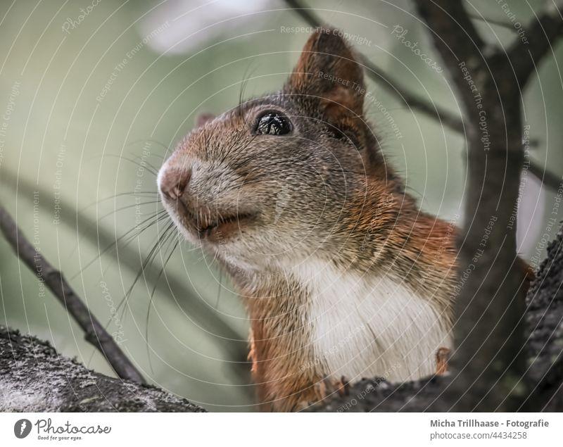 Eichhörnchen im Baum Sciurus vulgaris Tiergesicht Kopf Auge Maul Nase Ohr Fell Pfote Krallen Nagetiere Natur Wildtier beobachten Blick Neugier niedlich