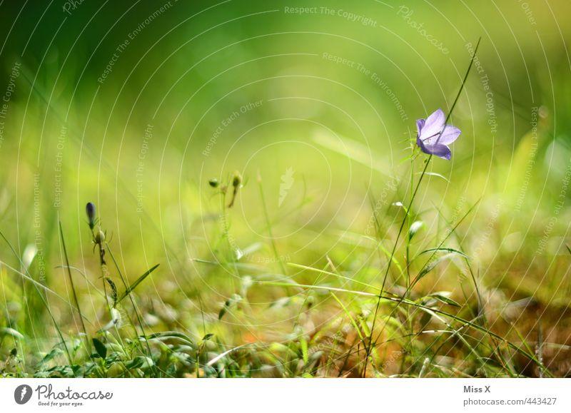 Glockenblume Frühling Sommer Blume Gras Blüte Garten Wiese Blühend Duft violett Frühlingsfarbe Wachstum Farbfoto mehrfarbig Außenaufnahme Nahaufnahme