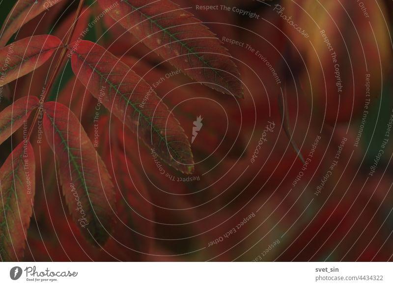 Orange-rote Blätter auf den Zweigen der roten Eberesche. Heller Herbsthintergrund. Blatt orange Vogelbeere Licht glänzend pulsierend Textfreiraum Herbstlaub