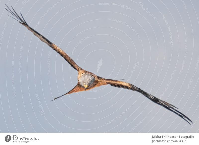 Fliegender Rotmilan auf Beutesuche Roter Milan Milvus milvus Vogel im Flug Greifvogel Kopf Schnabel Auge Flügel Flügelspanne Federn Gefieder Flügelschlag Himmel