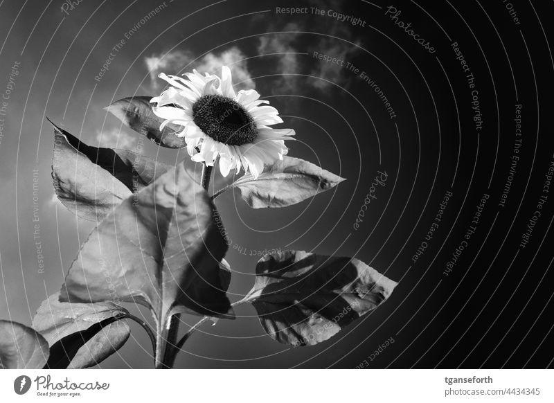 Sonnenblume Sommer Blume Blüte Pflanze Blütenblatt Blühend Natur gelb Außenaufnahme Nahaufnahme Umwelt Sonnenlicht Menschenleer schön Detailaufnahme Kontrast