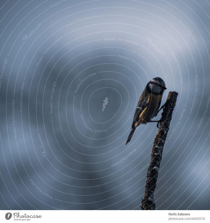 Blaumeise auf moosbewachsenem Aststock im Winter Tier Vogel Hintergrund Schnabel schön Biodiversität Biologie Vogelbeobachtung schwarz blau gesäumt