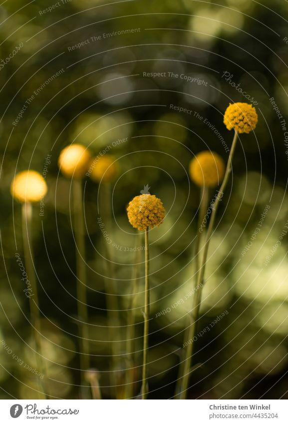 Craspedia globosa, Trommelstöckchen vor grünem Hintergrund mit gesprenkeltem Licht und Bokeh Blume Pflanze Trommelstöckchen Blume Natur gelb Blüte modern
