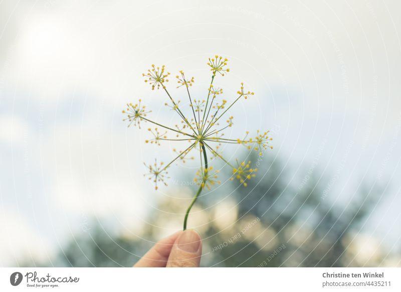 Eine zarte gelbe Dillblüte , hochgehalten von einer Hand, im Hintergrund ein Baum und heller Himmel Dillblüten Dilldolde festhalten Garten Nutzpflanze