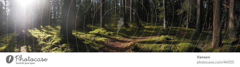 deep in the woods Baum Sonne Wald groß Schweden Panorama (Bildformat) Pflanze
