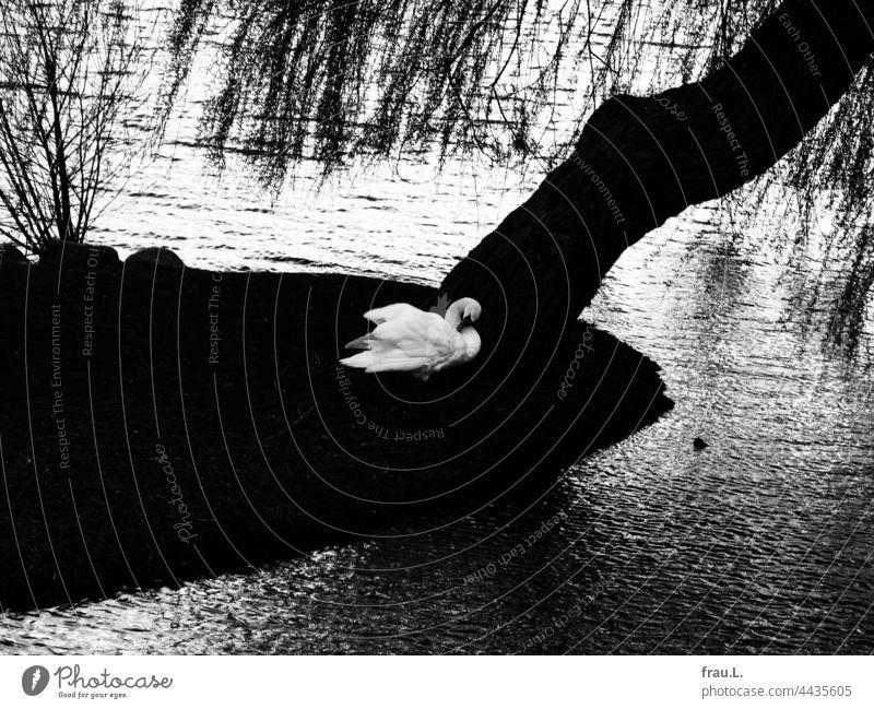 Schwan in Schwerin See Baum Wasser putzen Winter Herbst Federpflege Vogel schön elegant