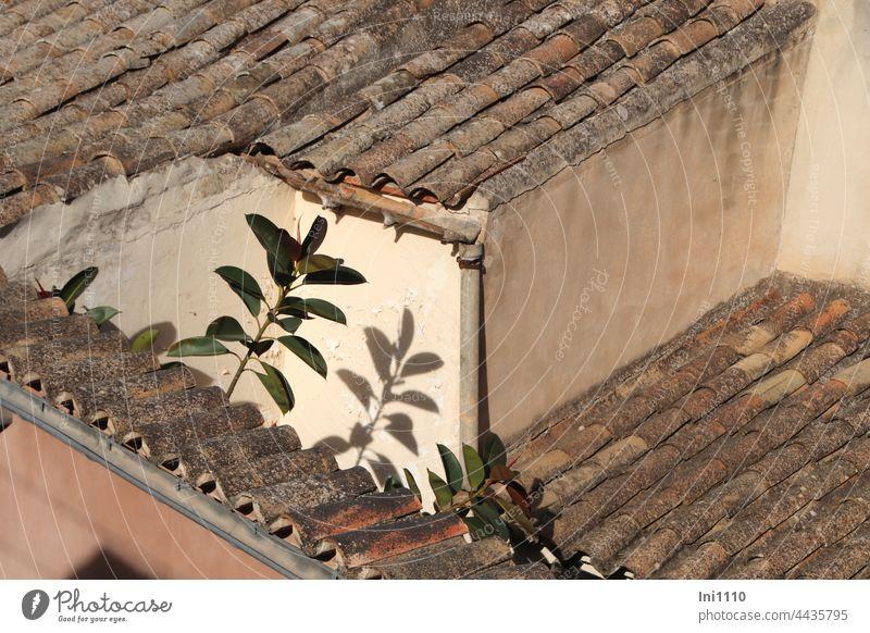 kleine Dachterrasse mit Gummibäumen auf Mallorca Urlaub blick von oben Terrasse Dächer Höhenunterschied Wände Ziegel Flechten Dachrinnen rustikal Sonne Licht