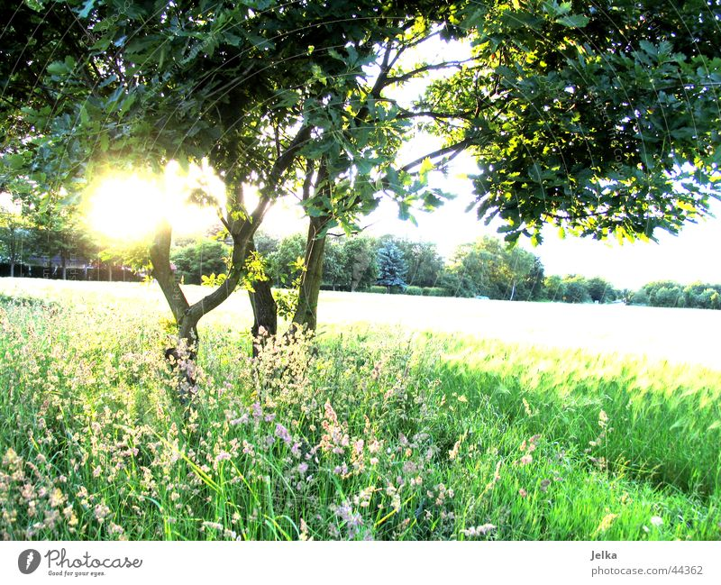 naturo puro Sonne Baum Gras ästhetisch Optimismus Hoffnung Baumstamm Kornfeld Weizenfeld Zweig Ast Farbfoto Sonnenstrahlen Gegenlicht
