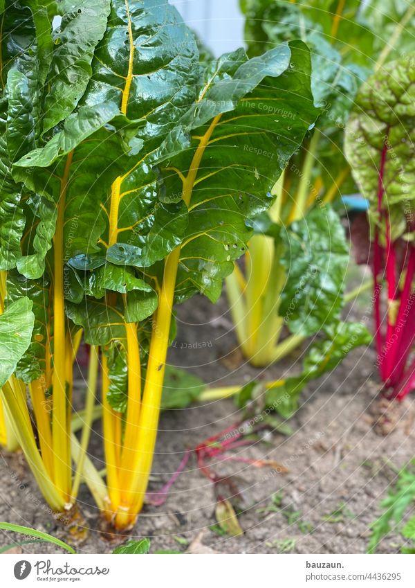 mangold. Mangold Mangoldblätter Lebensmittel Gemüse Vegetarische Ernährung Gesundheit frisch Farbfoto Bioprodukte Vegane Ernährung Gemüsebeet Gemüsegarten