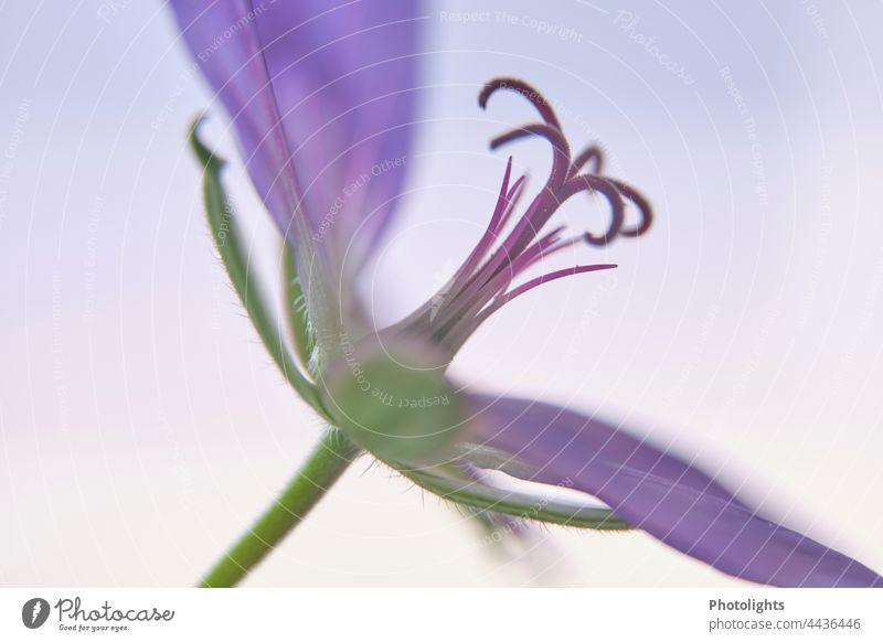 Seitenansicht einer Blüte des Storchenschnabels Pflanze Saison Sommer Nahaufnahme Blume Garten Blütezeit Natur Gartenfreude Hintergrund neutral Romantik