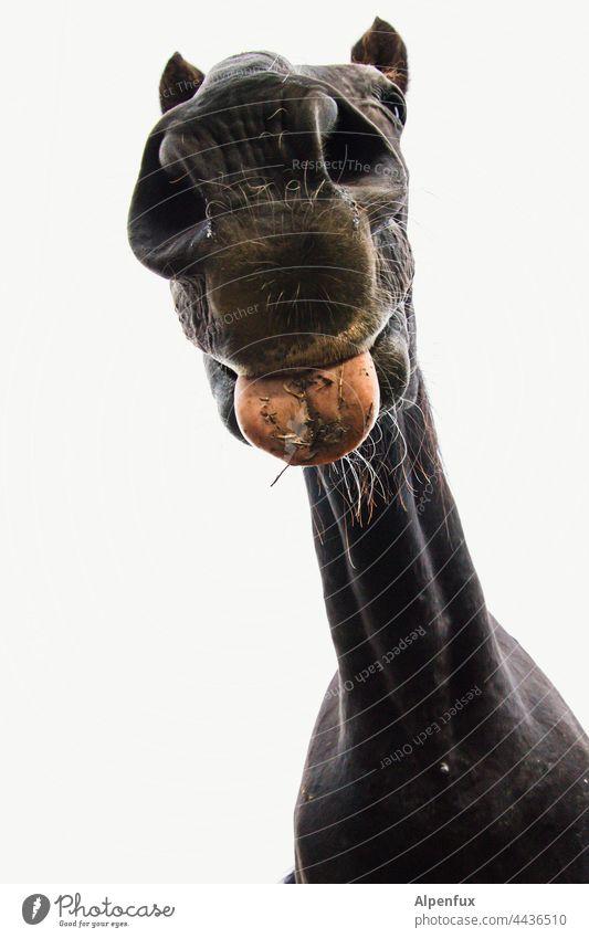 Bääähh... Pferd Zunge zunge zeigen Zunge rausstrecken Pferdekopf Pferdegesicht frech lustig Gesicht Grimasse Tier Porträt Gesichtsausdruck