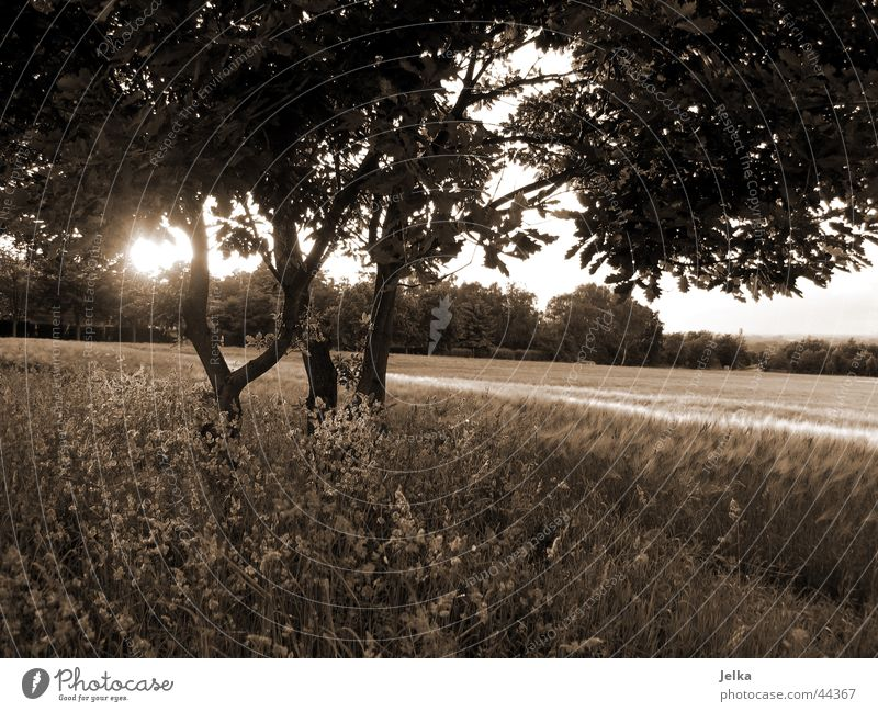 natur! Sonne Baum Gras Vorfreude Baumstamm Kornfeld Weizenfeld Zweig Ast Sonnenstrahlen Gegenlicht