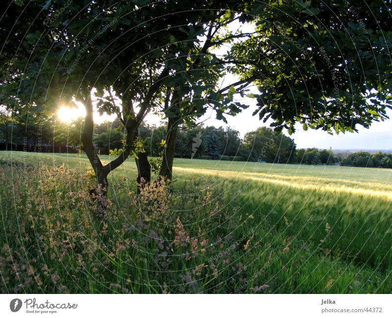 sunshine... Sonne Landschaft Baum Gras Blatt Feld hell Kornfeld Baumstamm Gerste Gerstenfeld Ast Zweig natur pur Sonnenstrahlen Gegenlicht