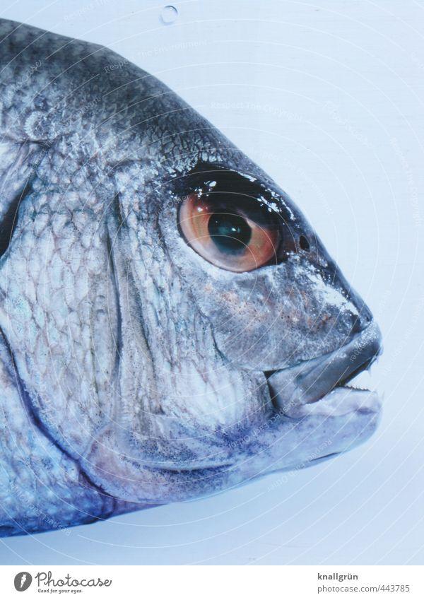 Fischkopp Lebensmittel Meeresfrüchte Ernährung Tier 1 beobachten glänzend lecker Gefühle Tierliebe Natur Fischkopf Auge Schuppen Meerestier Kieme Farbfoto