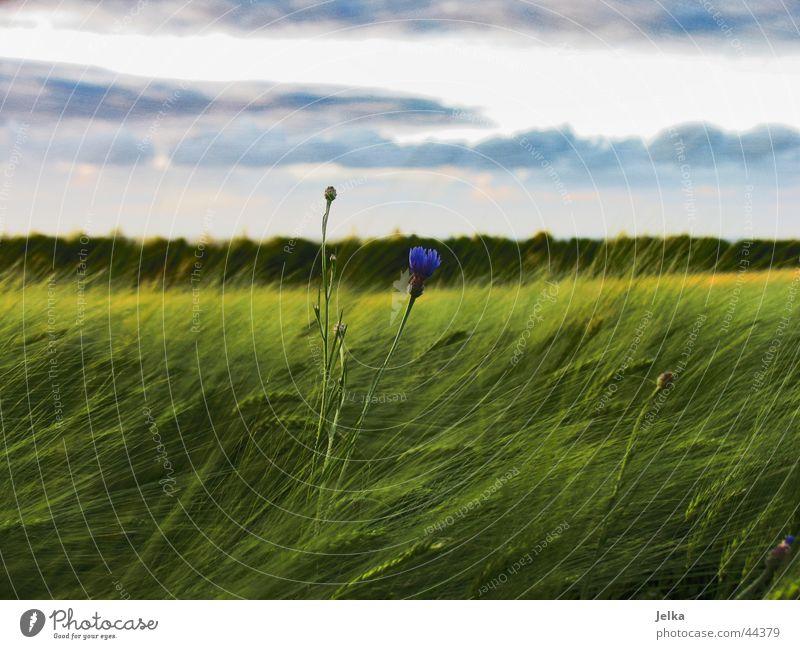 Ein Blümlein steht imFelde... Landschaft Wald Hoffnung Horizont Kornblume Kornfeld Gerste Gerstenfeld Farbfoto