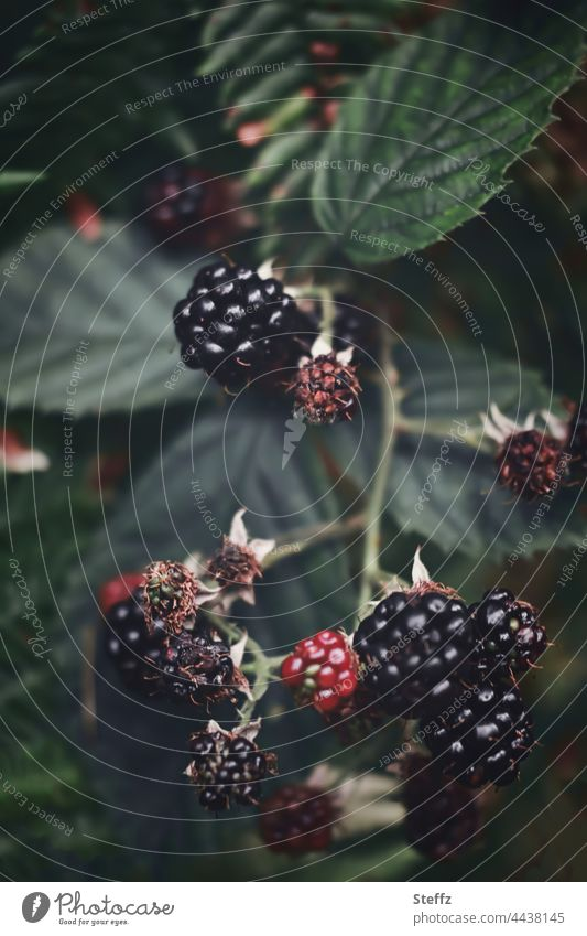 Naschobst Brombeeren wilde Brombeeren Rubus fruticosus Waldfrüchte Kratzbeeren Strauch Obst Früchte saftige Früchte essbare Früchte Sammelsteinfrüchte