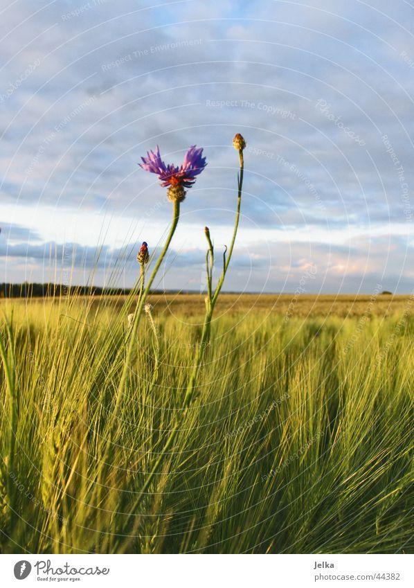 ganz alleine ... Blume Feld Einsamkeit Kornblume Kornfeld Gerste Gerstenfeld Farbfoto
