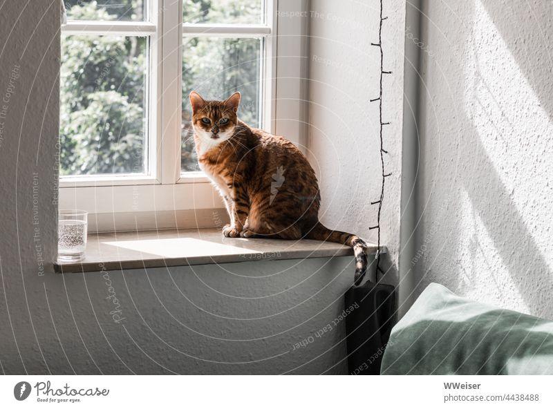 Eine kleine Bengalkatze auf ihrem Lieblingsplatz am Fenster der Altbauwohnung Katze Fensterbrett Zimmer Wohnung drinnen Licht rausgucken Blickkontakt Augen