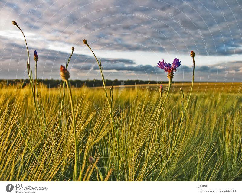 Mal wieder ein Kornblümchen Natur Himmel Wolken Gewitterwolken Feld Hoffnung Horizont Kornblume Kornfeld Gerste Gerstenfeld Farbfoto
