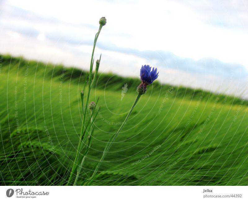 Ein Blümlein im Kornfeld... Landwirtschaft Forstwirtschaft Natur Pflanze Horizont Sommer Wind Blume Kornblume Getreide Getreidefeld Feld Feldrand blau grün