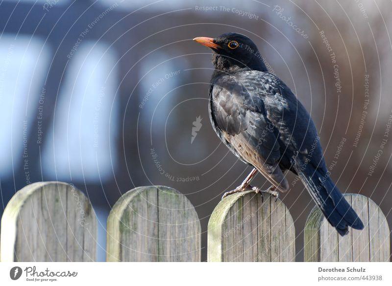 Morgenstund Tier Wildtier Vogel Flügel Amsel Singvögel 1 Holz Zaun Feder Schnabel schwarz beobachten sitzen orange Farbfoto Außenaufnahme Textfreiraum links