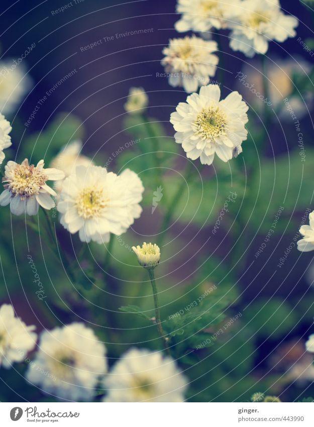 Flüchtige Sommerromanze Umwelt Natur Pflanze Schönes Wetter Blume Blatt Blüte Wildpflanze Wiese Wachstum heiter sanft viele Blühend aufgefächert Stengel hell