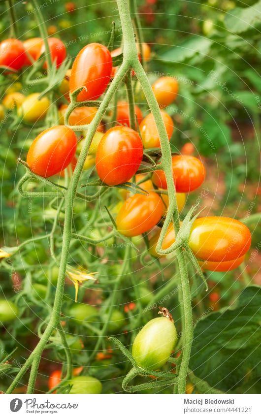 Nahaufnahme von Bio-Datteltomaten, selektiver Fokus. Tomate organisch Bauernhof Ackerbau Gemüse Frucht Pflanze Garten frisch grün Lebensmittel Gesundheit