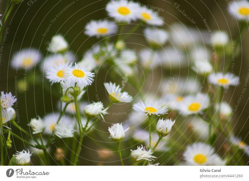 Mehrere Wiesenschaumkrautblüten in Nahaufnahme mit selektivem Fokus auf den Vordergrund unglücklich Einfachheit Sommer Natur Wildblume mehrere grün rein