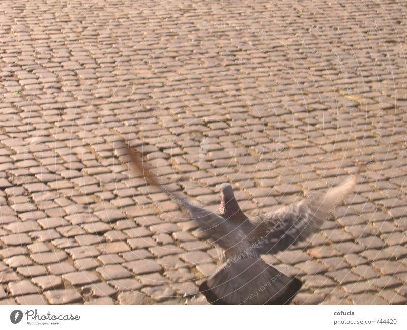 Taube Kopfsteinpflaster Stadt Vogel Verkehr Straße Bewegung cobblestone street pigeon bird movement