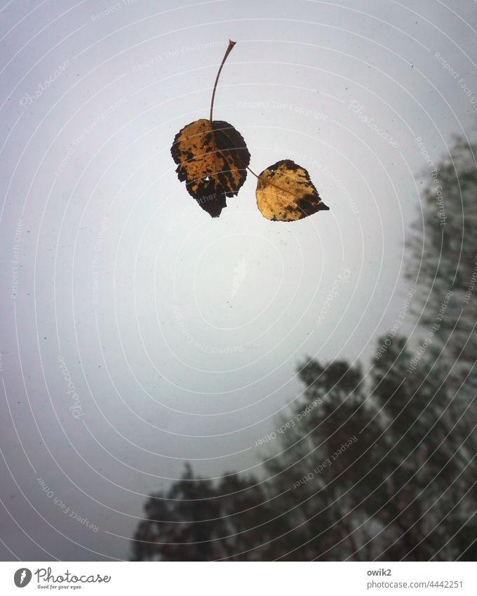 Man kennt sich Blätter Windschutzscheibe gefallen liegen schwebend Himmel diesig Hintergrund neutral Bäume Vergänglichkeit Nahaufnahme Laubblätter herbstlich