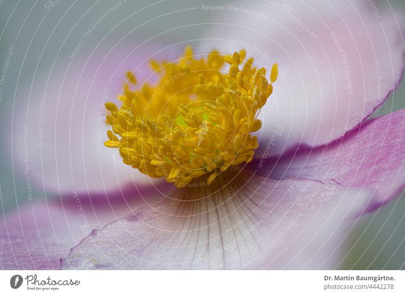 Blüte einer Japanischen Herbstanemone, Anemone hupehensis, Ranunculaceae japanisch Züchtung Pflanze Blume Hybride Sorte Gartenform Auslese Blütenblätter