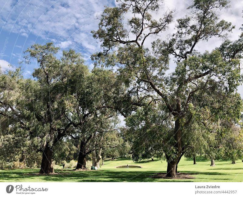 Königlicher Park Perth West Australien Baum Baumrinde alter Baum Natur grün Außenaufnahme Pflanze Baumstamm Frühling Ast Baumkrone Umwelt Blattgrün Sonnenlicht