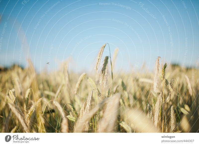 Weizen Lebensmittel Getreide Brot Ausflug Freiheit Sommer Sommerurlaub Sonne Landwirt Feld Feldarbeit Ernte Landwirtschaft Forstwirtschaft Umwelt Natur