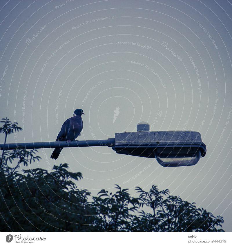Straßenlaterne Natur Baum Vogel 1 Tier dunkel natürlich trist Stimmung Wachsamkeit Selbstbeherrschung Traurigkeit Einsamkeit Straßenbeleuchtung Peitschenlaterne