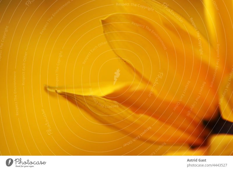 Nahaufnahme von den Blütenblättern einer gelben Margerite blume blütenblätter margerite korbblütler natur pflanze makro blühen schönheit flora orange aufblühen