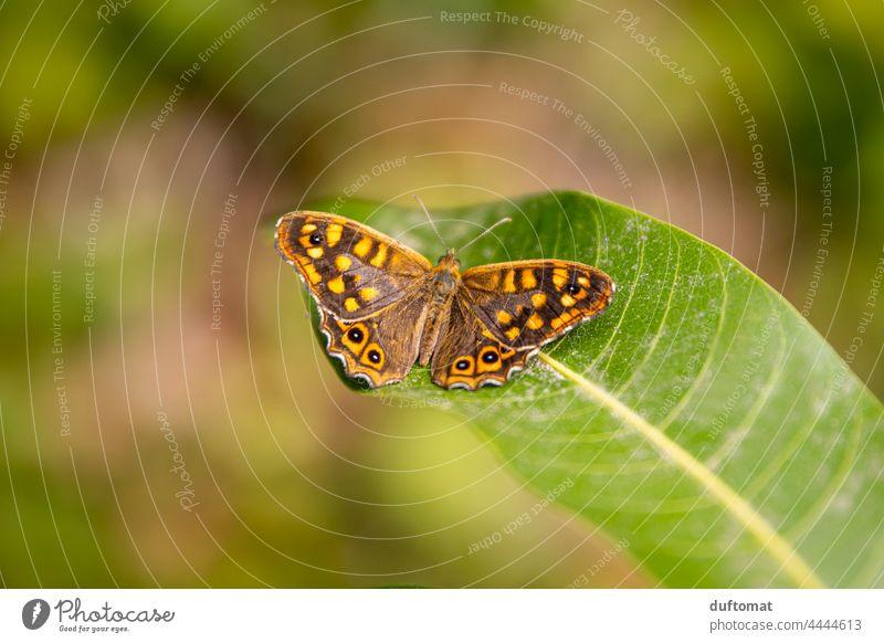 Schmetterling (Augenfalter) sitzt auf Blatt Natur natürlich draussen Pflanze Tier Flügel Nahaufnahme Insekt Fühler Tierporträt Wildtier sitzen Fuchsauge