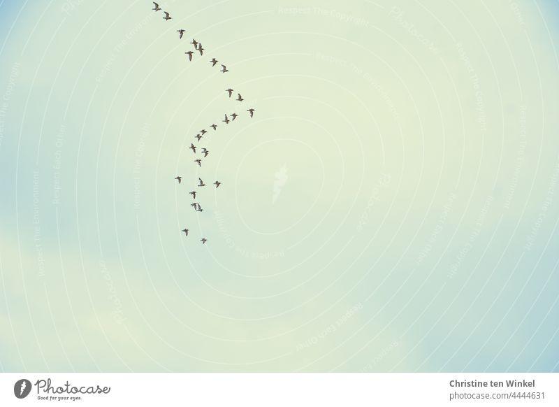 Ein Schwarm Austernfischer am Himmel fliegen Vogelschwarm Formationsflug Wildtier Tiergruppe Vogelflug Vögel Natur Freiheit Nordsee viele Bewegung Luft frei