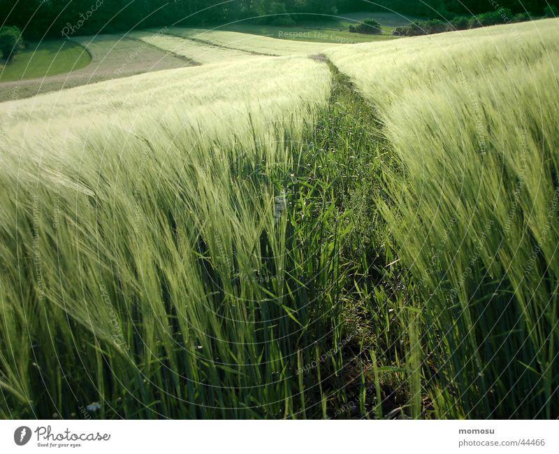 grüner spalt grün Feld Getreide Amerika Korn Weizen Abendsonne
