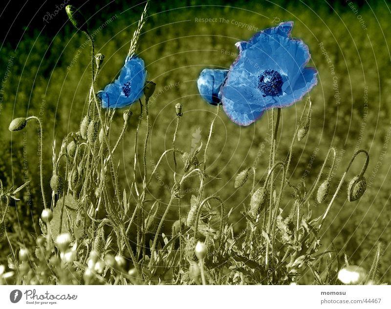 mohn in blau Wiese Blüte Mohn